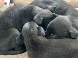 kc reg grey hound pups