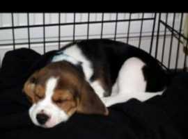 We want a beagle pupppieeee