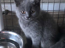 2 BRITISH SHORTHAIR GCCF REGISTERED MALES