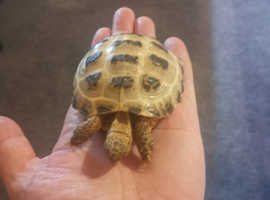 Horsfield Tortoise (Approx 1 year old female)