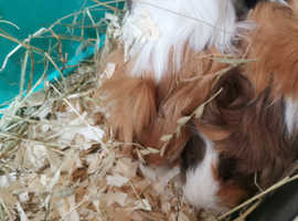 2  longhaired Guinea pigs