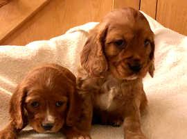 Cockalier pups for sale