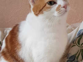 Ginger and White Tabby Cat Martha For Sale £195