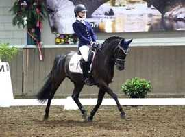 Rembrant- 8 years Dressage German Riding Pony