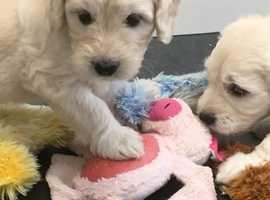Miniature Goldendoodles Health Tested Parents