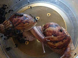 African land snails need good home