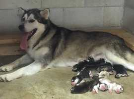 Gorgeous Litters Alaskan Malamute puppies