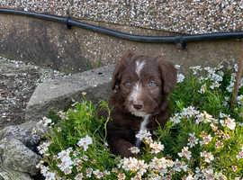 Miniature Poodles x Border Collie