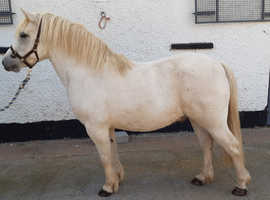 Merle is a 7yr old, 12hh pony. He would make a lovely companion, gentle and is well behaved.