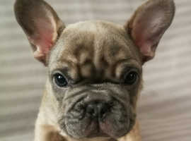 French bulldog puppies. Top bloodline!!!!!