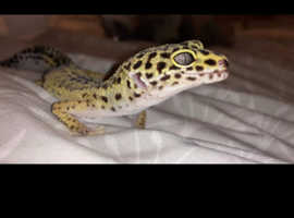 Leopard gecko and vivarium