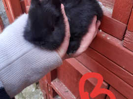 Netherland dwarf rabbits bunnies All Sold