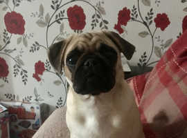 Beautiful pug puppy