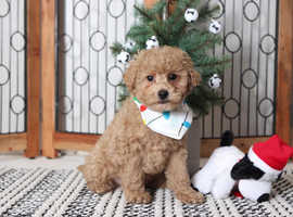 for sale an outstanding litter of Goldendoodle puppies