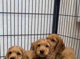 Beautiful golden cocker spaniel puppies