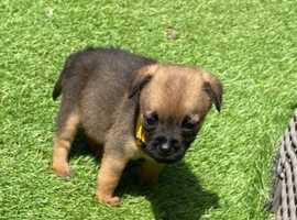 Beautiful border terrier puppies