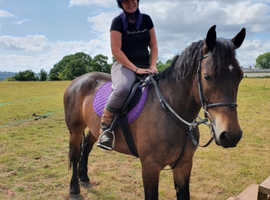 15hh Pure Bred Welsh Section D Gelding