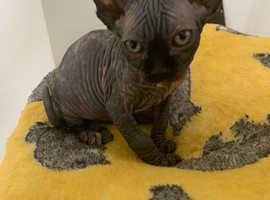 Sphynx kitten female