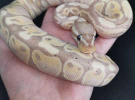Cb19 Ball pythons