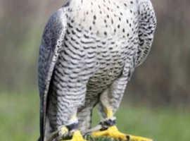 GYR Peregrene Falcon