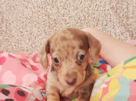 Kc reg very small minature daschund