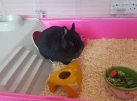 Netherlands dwarf black girl rabbit