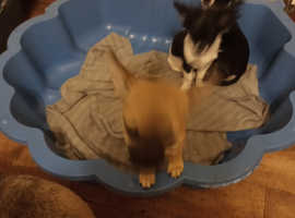 Two pure breed chihuahua,s females