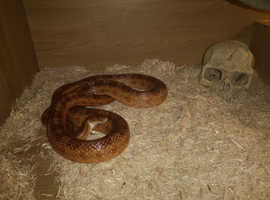 Corn Snake with setup