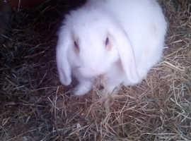 Baby rabbit (buck)