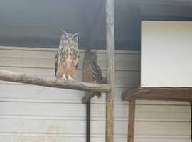Proven breeding pair of Bengal eagle owls