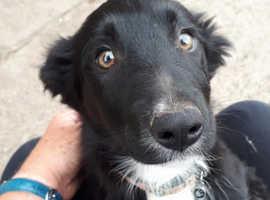 Beautiful collie little girl pup