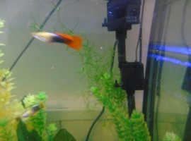 2 guppy adults stunning gold headed orange and black males