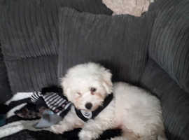 Wanted bichon frise puppy girl low price please