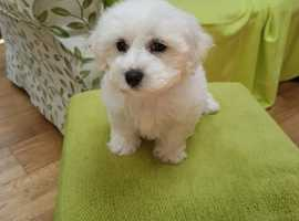 Bichon in Southend-on-Sea | Dogs & Puppies For Sale & Rehome