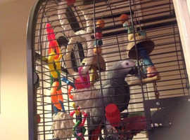 8 year old African grey parrot. Very talkative happy bird who loves to dance.