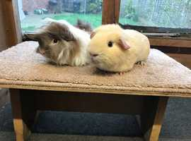 Gorgeous pair of Guinea Pig boars - £45 the pair