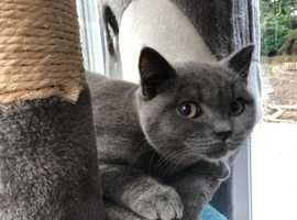 STUNNING BRITISH SHORTHAIR BLUE KITTENS GCCF REGISTERED
