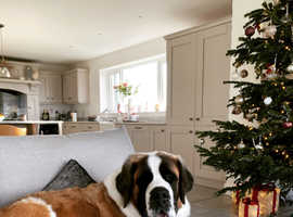 St. Bernard Stud dog