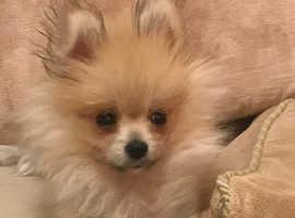 Pomeranian (Girl)