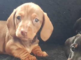KC registered Miniature Daschund puppies