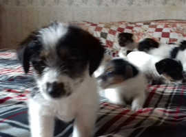 Quality Rough Coated Jack Russell pups