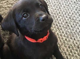 Labrador pups KC reg
