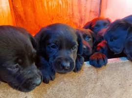 Beautiful Springador puppies for sale