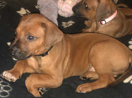 Ridgeback puppies one girl remaining