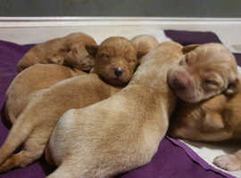 Labrador puppy's ready febuary