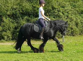Stunning black cob gelding