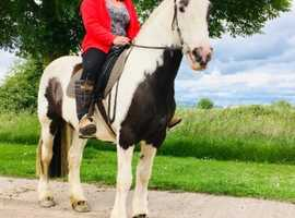 Saffy! Bombproof family horse! 14.3hh