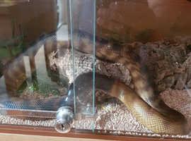 Blackheaded python
