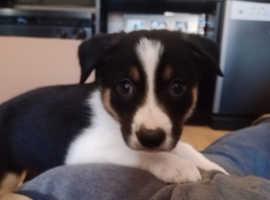 7 week Tri colour border collie boy pup