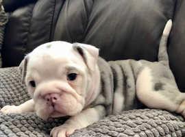Quality Merle bulldogs